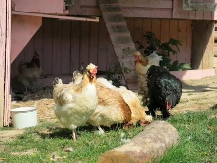 freilaufende hühner schmecken nicht